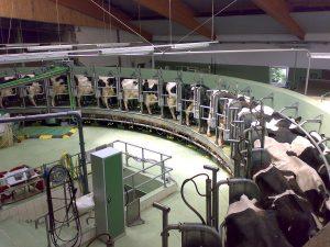 Milking Cows, Virus Breaking Global Food Supply Chain
