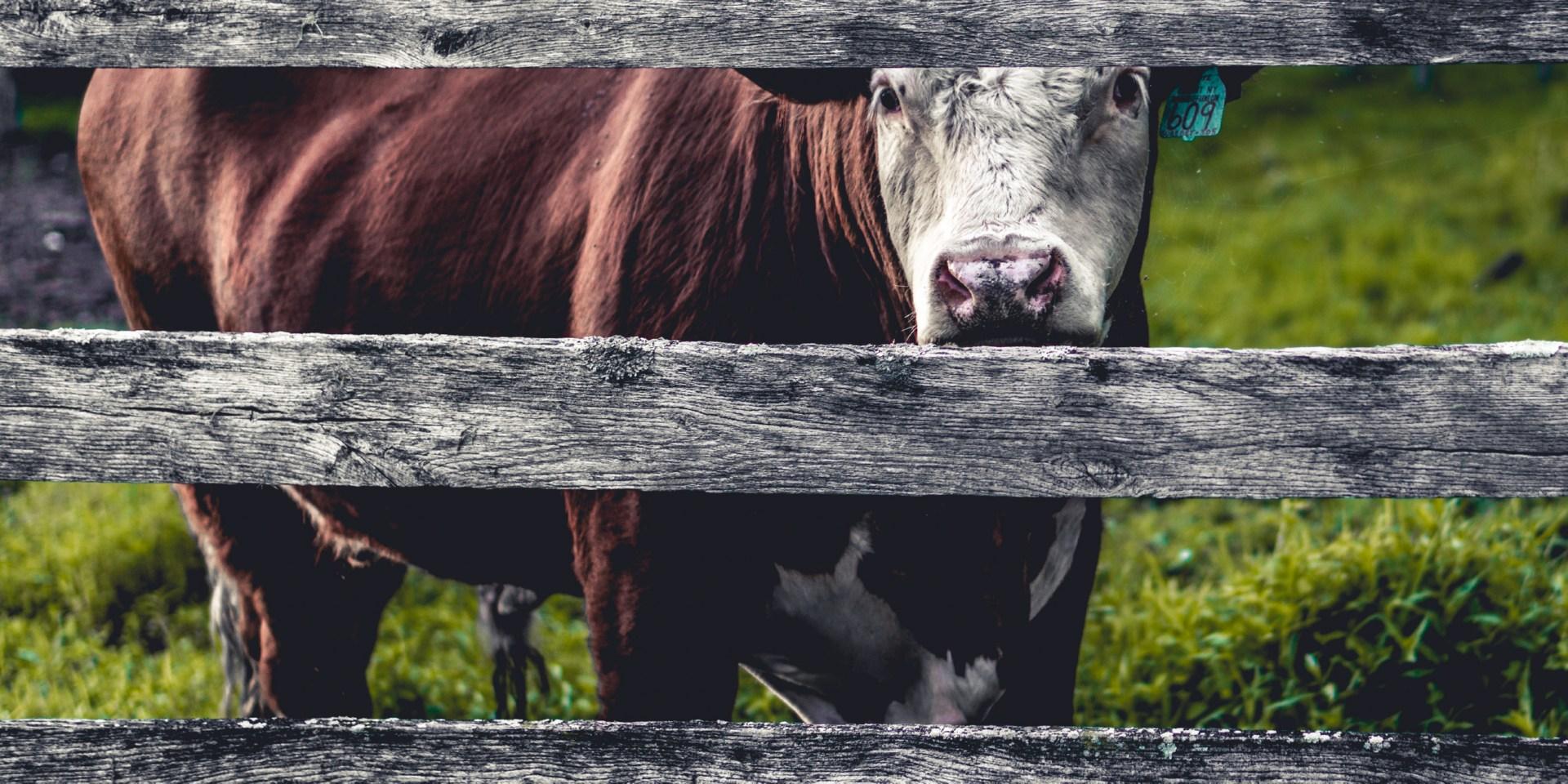Litchfield, United States, Dairy Cow, Milk Cow