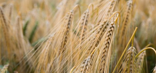 Wheat Grain in Field