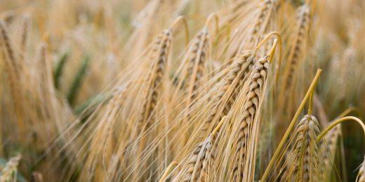 Wheat Grain in Field