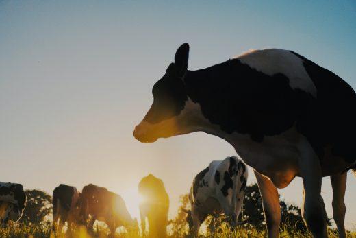 Dairy Cow Sunset Photo by Erwan Hesry on Unsplash